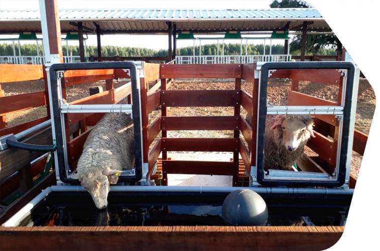 Balança Intergado sendo utilizada por ovinos