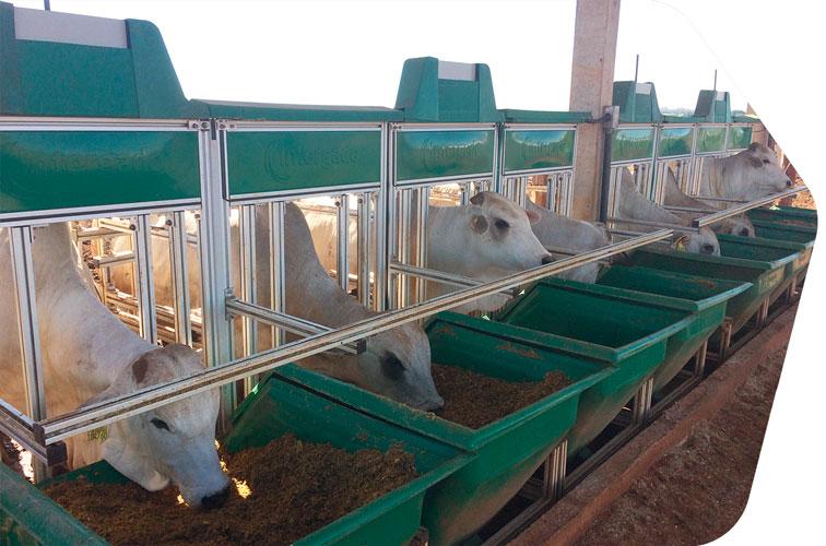gado nelore em confinamento alimentando em cocho inteligente Intergado