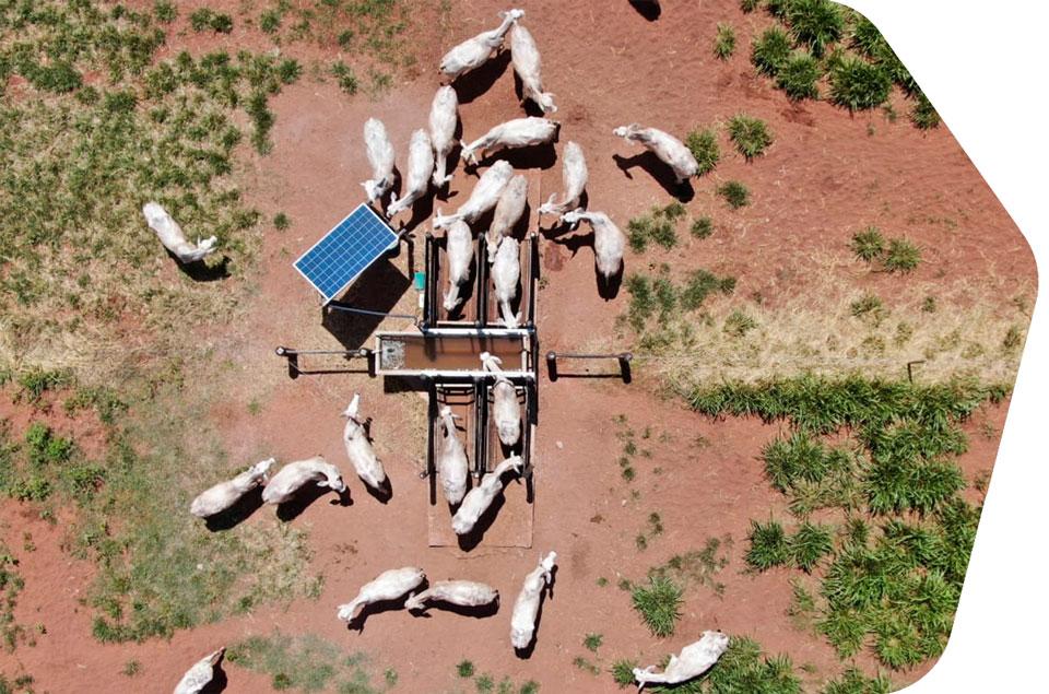 gado nelore bebendo água em balança Intergado